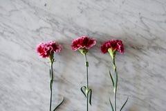 Drie dramatische roze anjers royalty-vrije stock foto's