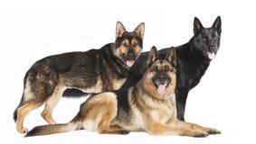 Drie Duitse herders Royalty-vrije Stock Afbeelding