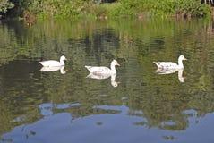 Drie eenden bij Gilloolys-landbouwbedrijf royalty-vrije stock foto's