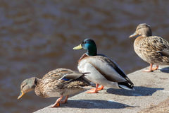 Drie eenden op de rivier Royalty-vrije Stock Afbeelding