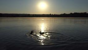 Drie eenden zwemmen op een meer bij een schitterende zonsondergang in 4k stock footage