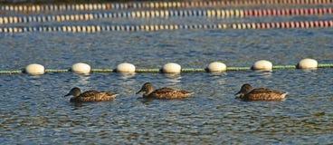 Drie eenden zwemmen op een rij in dezelfde steeg van pool Royalty-vrije Stock Afbeeldingen