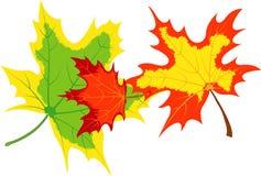 Drie esdoornbladeren Royalty-vrije Stock Foto