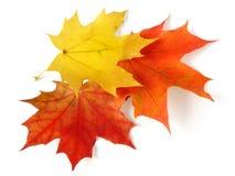 Drie esdoornbladeren stock afbeeldingen