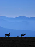 Drie ezels op de heuvel Royalty-vrije Stock Foto