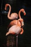 Drie flamingo's Stock Afbeelding