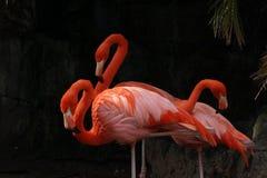 Drie Flamingo's Stock Foto's
