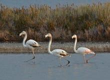 Drie flamingo's in het moeras Royalty-vrije Stock Foto's