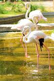 Drie flamingoes Stock Foto