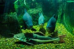 Drie fotogenieke vissen en katvis in het Aquarium in de dierentuin van Kiev stock fotografie
