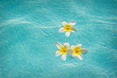 Drie frangipanis die op Zwembad drijven Stock Afbeelding