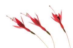 Drie Fuchsiakleurig Bloesems op Wit Royalty-vrije Stock Foto