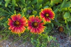 Drie gaillardiabloemen Stock Afbeeldingen