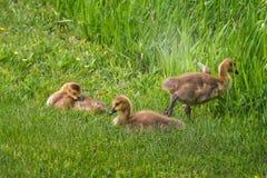 Drie Gansjes (Branta-canadensis) in het Gras Stock Foto