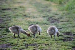 Drie Gansjes op een Weg Stock Fotografie