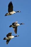 Drie Ganzen die van Canada in een Blauwe Hemel vliegen Royalty-vrije Stock Afbeeldingen