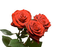 Drie geïsoleerdee rozen Royalty-vrije Stock Afbeelding