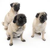 Drie Geïsoleerdn Pugs Royalty-vrije Stock Afbeelding
