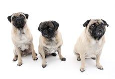 Drie Geïsoleerdo Pugs Stock Foto's