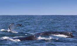 Drie gebocheldewalvissen die van de kust van Knysna opduiken Stock Fotografie
