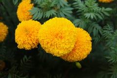 Drie geel goudsbloemenclose-up Royalty-vrije Stock Foto's