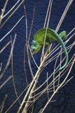 Drie-gehoornd kameleon Stock Afbeelding