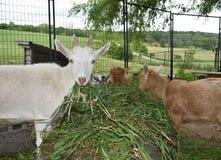 Drie geiten die verse grassen eten stock afbeelding