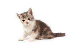 Drie-gekleurd katje Stock Afbeelding