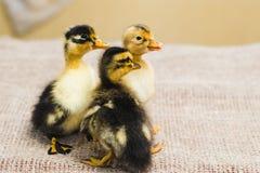 Drie gekleurd pasgeboren eendje op linnendoek stock fotografie