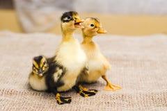 Drie gekleurd pasgeboren eendje op linnendoek royalty-vrije stock foto's