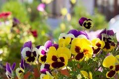 Drie-gekleurd viooltje op het bloembed Royalty-vrije Stock Foto's