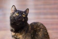 Drie-gekleurde kat met gele ogen stock foto