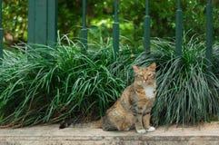 Drie-gekleurde Tabby Cat Sitting op het voetpad Stock Afbeelding
