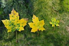Drie gele bladeren op groen Stock Afbeeldingen