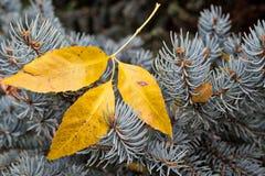 Drie gele bladeren op pijnboomnaalden Royalty-vrije Stock Foto's