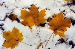 Drie Gele Bladeren op Sneeuw Newfallen Royalty-vrije Stock Foto's