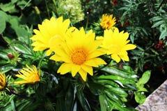 Drie gele bloemen Stock Fotografie