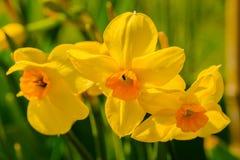 Drie gele bloemen in bloembed in de lente stock afbeelding