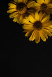 Drie gele bloemen op een zwarte achtergrond Stock Afbeeldingen