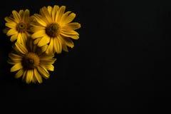 Drie gele bloemen op een zwarte achtergrond Royalty-vrije Stock Foto's