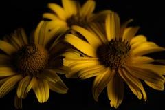 Drie gele bloemen op een zwarte achtergrond Royalty-vrije Stock Foto
