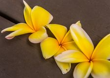 Drie Gele Frangipani-Bloesems stock fotografie