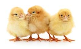Drie gele kippen Stock Fotografie