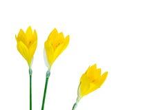 Drie gele krokusbloemen royalty-vrije stock afbeeldingen