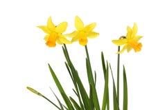 Drie gele narcisbloemen stock afbeeldingen