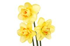 Drie gele narcisbloemen Stock Afbeelding