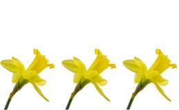 Drie gele narcissen op witte achtergrond Royalty-vrije Stock Foto's