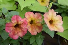 Drie gele petuniabloemen verdwijnen aan rood langzaam Stock Foto