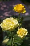 Drie gele rozen Royalty-vrije Stock Foto's