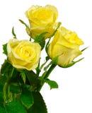 Drie gele rozen isoleren royalty-vrije stock foto